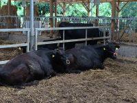 専用アプリ『moopad®』で和牛繁殖をスマホ管理 「儲かる和牛生産」実現へ