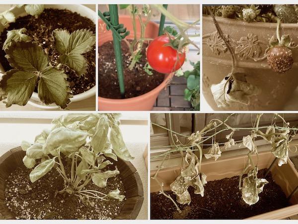 野菜が枯れる原因。わたしが枯らしてしまう理由【枯れ専かーちゃんのベランダ菜園】