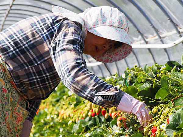 イチゴ狩り農園