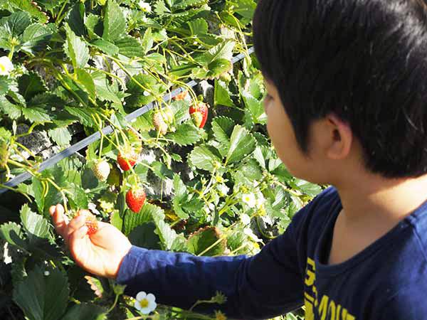 静岡のイチゴ狩り農園に行ってみた!【親子で楽しむ食体験#01】
