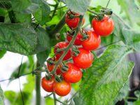 農家が教えるミニトマト栽培 最後まで鈴なりの実を付けさせる方法