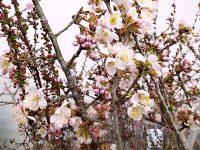 春の稼ぎ頭・桜の切り枝 開花を早める「ふかし」技術を学ぶ!