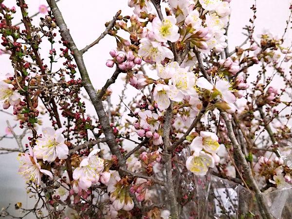春の稼ぎ頭・桜の切り枝 開花を早める「ふかし」技術を学ぶ!【直売所で月3万円稼ぎたい!#8】