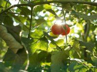 生まれ故郷で覚える野菜づくりのコツ〜トマト編〜【畑は小さな大自然vol.38】