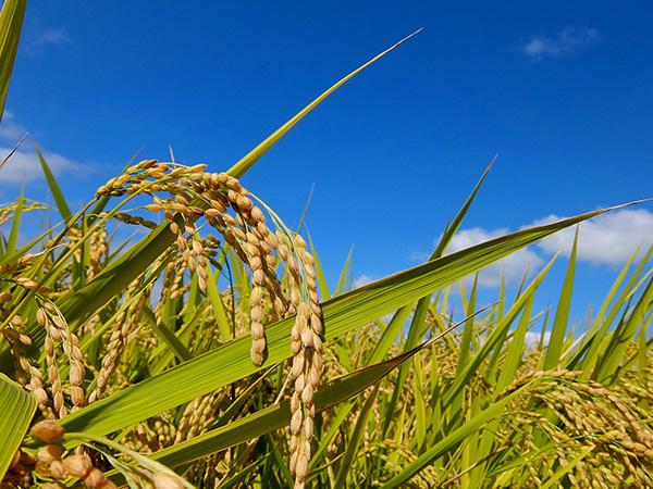 畑で作られる「陸稲」とは? 品種や栽培方法を紹介