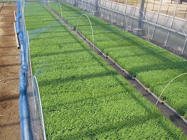 育苗のメリットとは? 水稲の種類と育苗方法