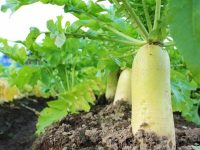 生まれ故郷で覚える野菜作りのコツ〜大根編〜【畑は小さな大自然vol.42】