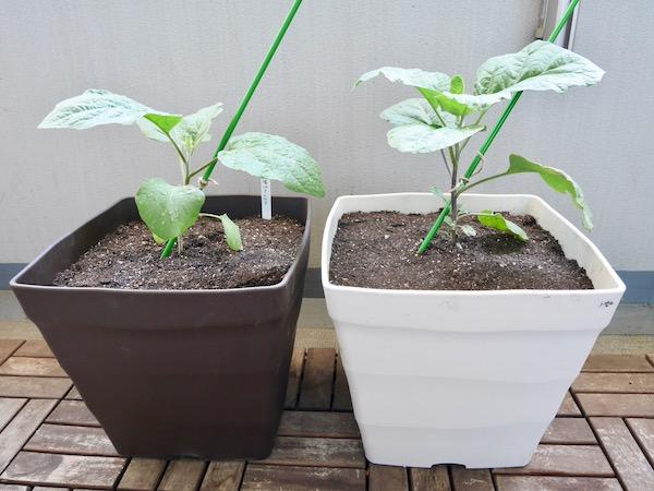 手に入りにくい野菜こそ自家栽培! 白ナス・植え付け編【脱枯れ専のベランダ畑】