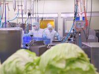 栽培から加工まで。カット野菜工場『エコファーム』おいしい生野菜、3つの秘密 ー農業生産法人 株式会社 エコファームー