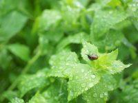 夏野菜の出来は梅雨時期で決まる!【畑は小さな大自然vol.43】