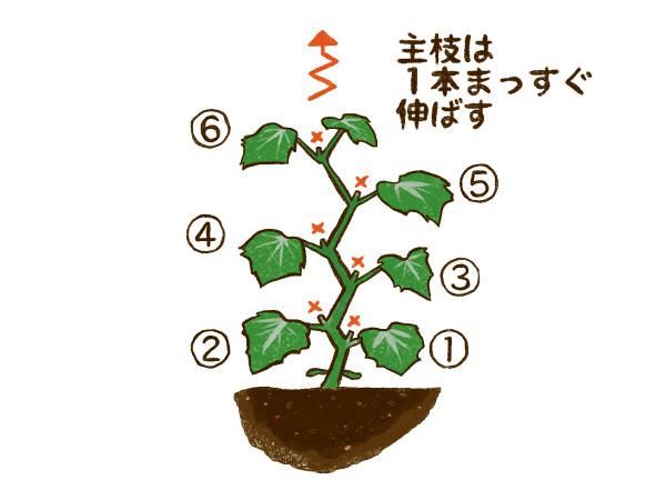 キュウリ栽培