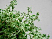 塩味の多肉植物 アイスプラントの栽培と食べ方【脱枯れ専のベランダ畑】