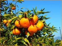 柑橘栽培をするなら、美しい瀬戸内で-しまなみ海道・大三島(おおみしま)-【農業体験ツアー・見学あり】