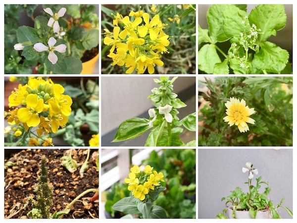 野菜の花を楽しんで種をとる【脱枯れ専のベランダ畑】