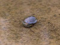 生育初期の稲をジャンボタニシ(スクミリンゴガイ)の食害から守る3つのポイント