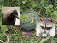 食害の犯人は? 食べられた跡で鳥獣を特定しよう