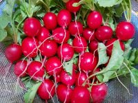これぞスキマ産業 小さな直売農家にオススメの「ラディッシュのスキマ栽培」