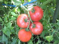 【参加者募集】大好評につき第4弾!ロアッソ熊本コラボイベント トマト収穫体験で夏の思い出作り!