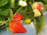 客土なしで夏イチゴを10年連作。安心・安全な蒸気消毒法で労力とコストを大幅削減!