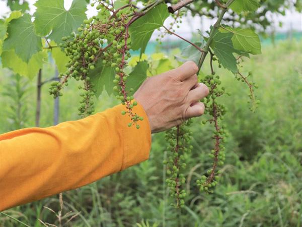 天然酵母の地ワイン