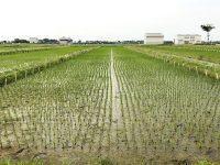 「日本のお米はおいしい」その舞台ウラ【1品種の裏には10倍の材料がある】