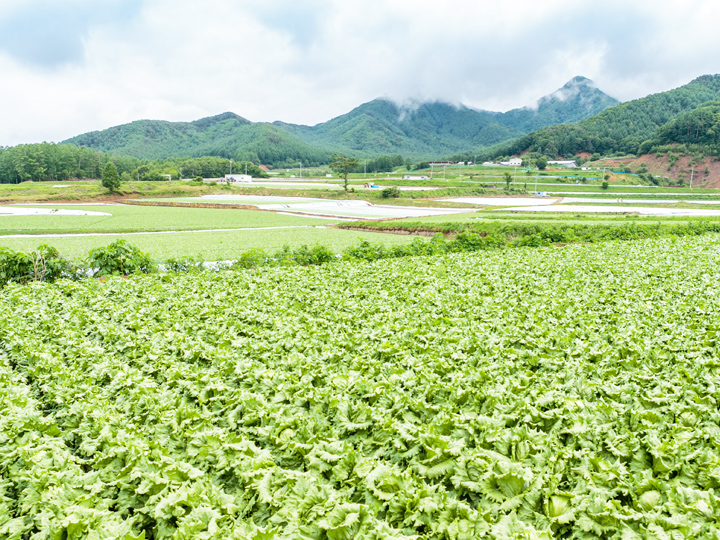 長野県川上村レタス畑