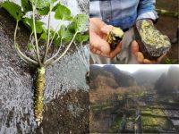 ワサビの命、それは水だった! 自然の恵みを守るワサビ農家8代目の思い
