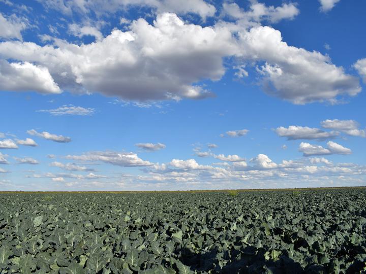 一面に広がるブロッコリー畑