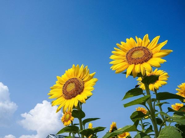 酷暑を逆手に!農研機構に聞く「太陽熱土壌消毒」の効果的な利用方法とは