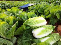 おいしい白菜の育て方 うまく結球させるポイントとは?