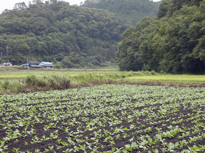 8月下旬ごろの事務所近くのキャベツ畑の様子。より高地にある畑ではこの時期が収穫シーズン真っ最中だそう
