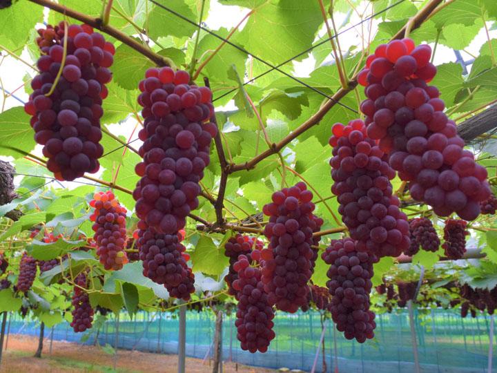 デラウエア生産量日本一の地で始めるブドウづくり。果樹王国『おきたま』が新規就農者にオススメな理由