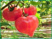 反射率90%、防汚性、耐久性、耐滑性を備えた『ハイブリッド・アップシート』でトマト、イチゴの成長をサポート