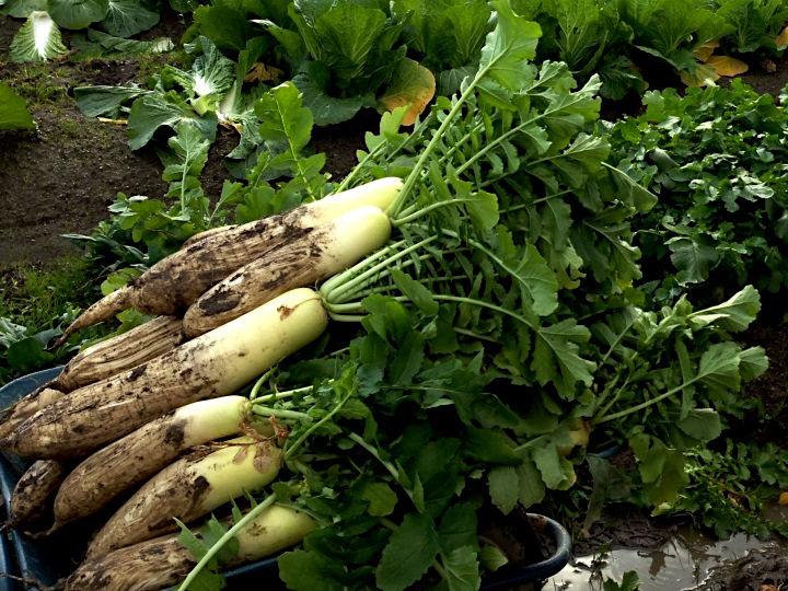 農家が教える大根の栽培方法 大きくて真っすぐな大根を育てよう!