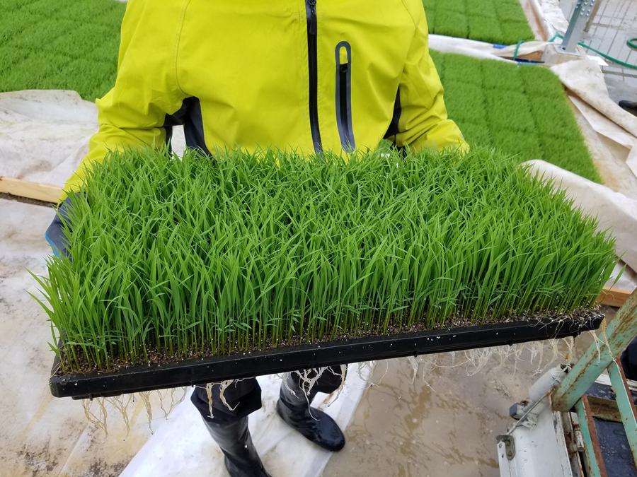 『軽易土』で作られた苗。生育も従来の培土に比べて優れています