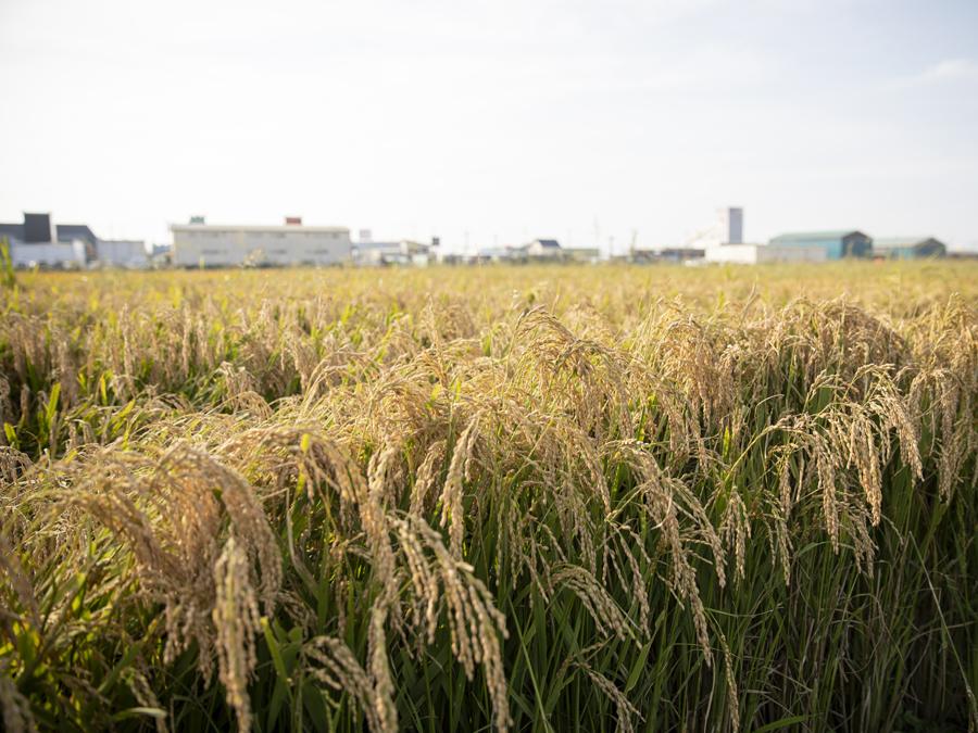 下水資源を活用して栽培された飼料用米が、収穫の時期を迎えていました