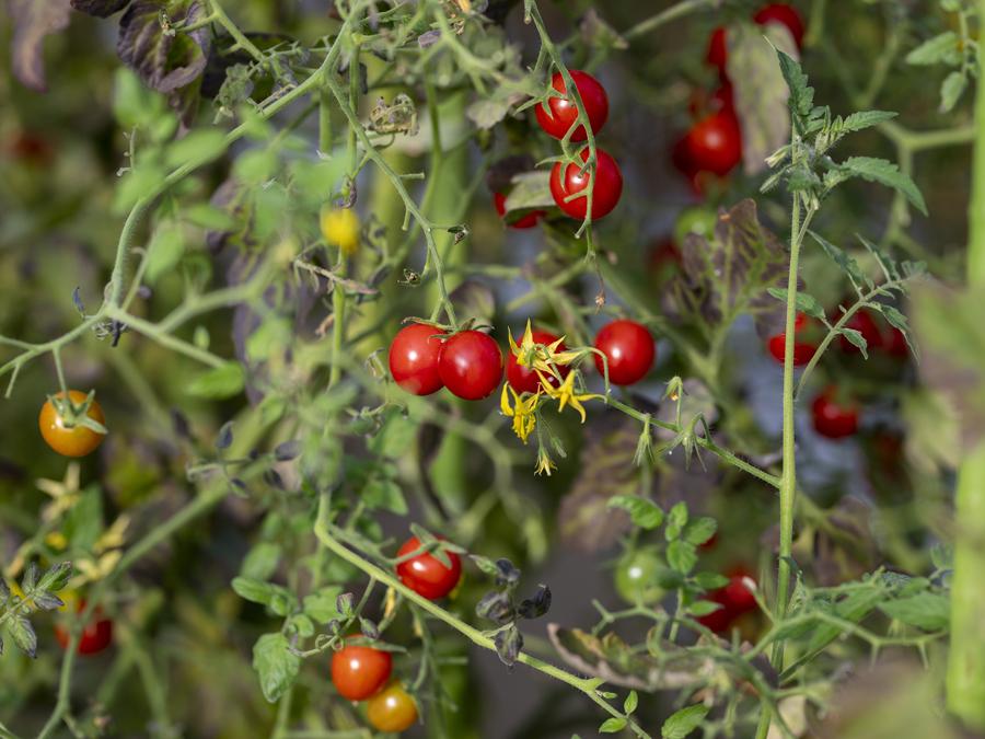 『じゅんかん育ち』のミニトマト