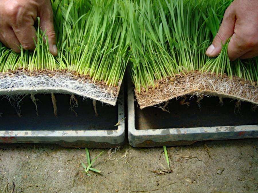 左が『軽易土』で生育した水稲苗。右の従来品と比較すると根張りの良さは一目瞭然です