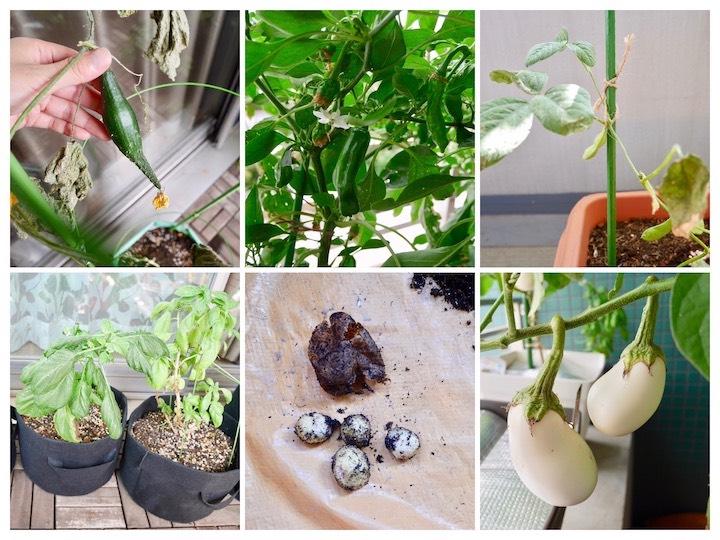 <春夏編>ベランダで育てられる最良のコスパ野菜は?【脱枯れ専のベランダ畑】