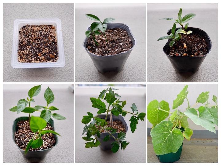 捨てていた種から出た芽、育てるとどうなる?【脱枯れ専のベランダ畑】