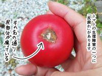 漫画「跡取りまごの百姓日記」【第29話】尻腐れのトマト