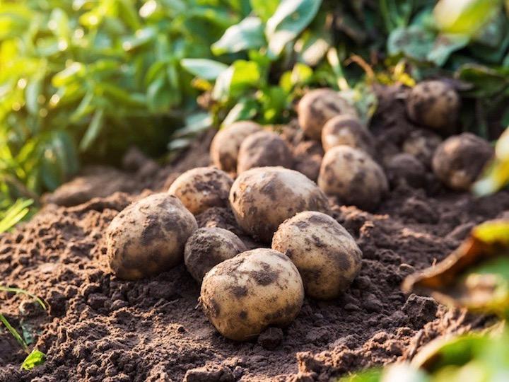 収穫したジャガイモは種芋にできる?【畑は小さな大自然vol.60】