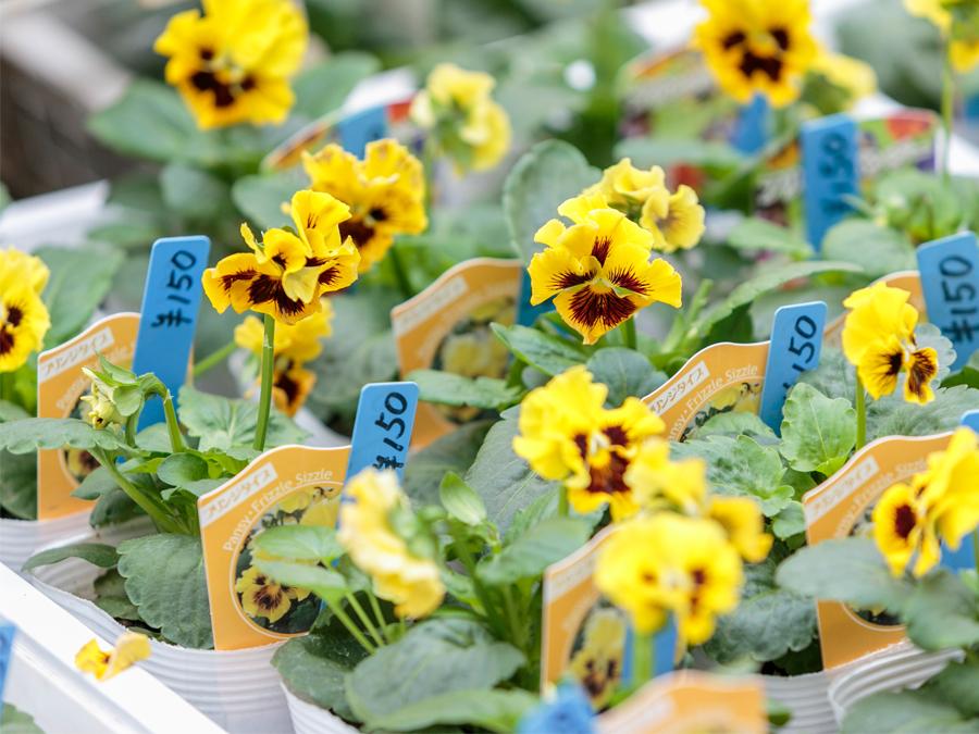 パンジーは鴻巣市の市の花として制定されています