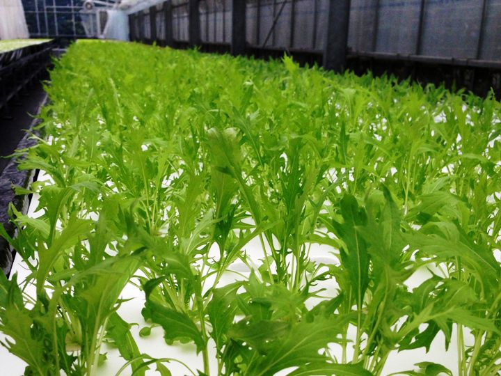 農家が教える水菜の栽培方法 サラダに鍋に、ちょうど良いサイズの水菜を育てる方法とは