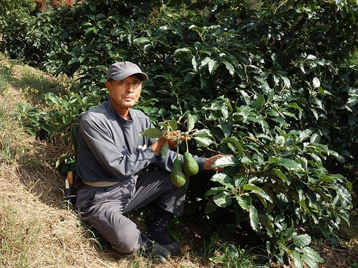 作れば売れる国産アボカド 柑橘栽培からの移行で過疎地の生産者を救う