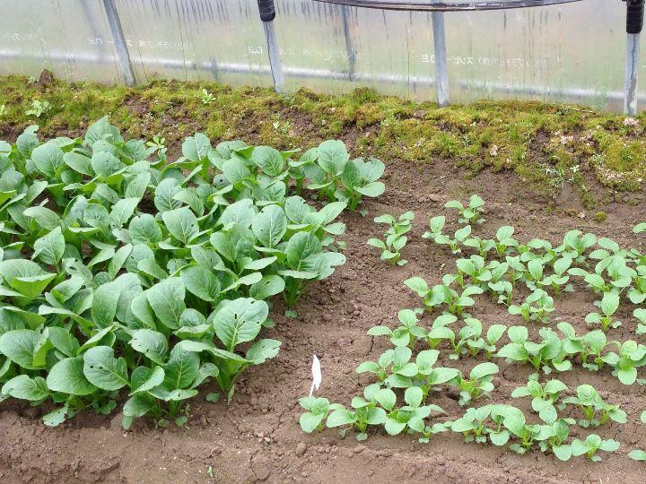 農家が教える小松菜の栽培方法 害虫を防いで小松菜を育てるポイントとは
