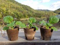 直売所で売れる野菜苗を作る! 価値が上がるひと手間