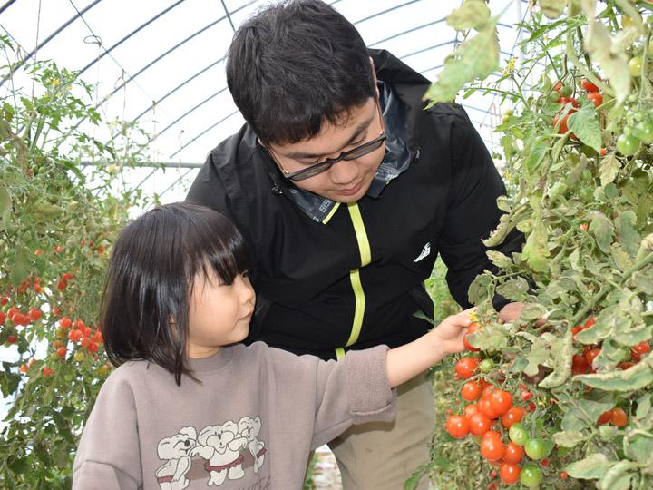 子供と一緒にトマトを収穫