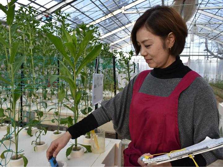紅花の水耕栽培中の肥料濃度計測