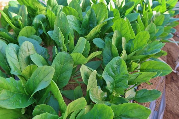 12 月 種まき 野菜